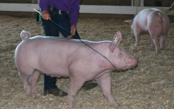 Pigs At Fowlerville Fair Test Positive For Swine Flu