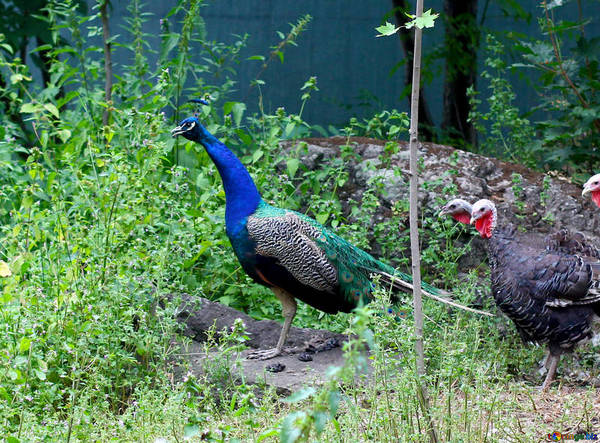 Marion Township Resident To Be Allowed To Keep Peacocks
