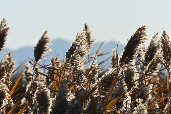 Hartland Twp. Looking To Combat Invasive Phragmites