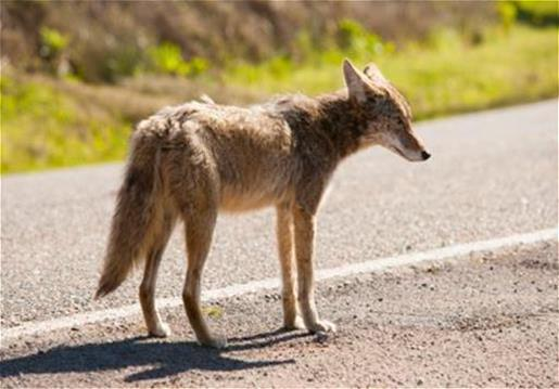 Coyote Reported In Hamburg Township